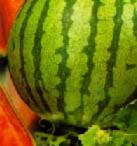 Описание сортов, бахчевые культуры, бахчевые растения