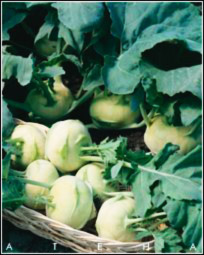 Описание сортов капусты, продажа семян капусты