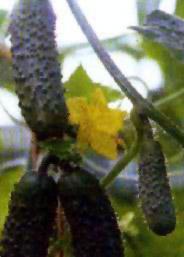 Описание сортов огурцов, продажа семян огурцов