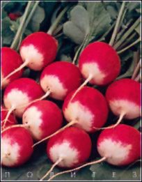 Описание сортов редиса, продажа семян редиса