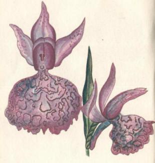 Ятрышник пурпурный