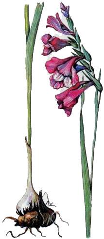 Лyговые травянистые растения. Биология и охрана: Справочник Губанов И.А., Киселева К.В.