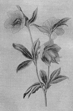 Ядовитые растения - Токсикология ядовитых растений